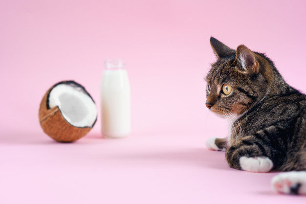 Funny cat lying near coconut milk in the bottle and fresh coconut on pink background. Premium Photo