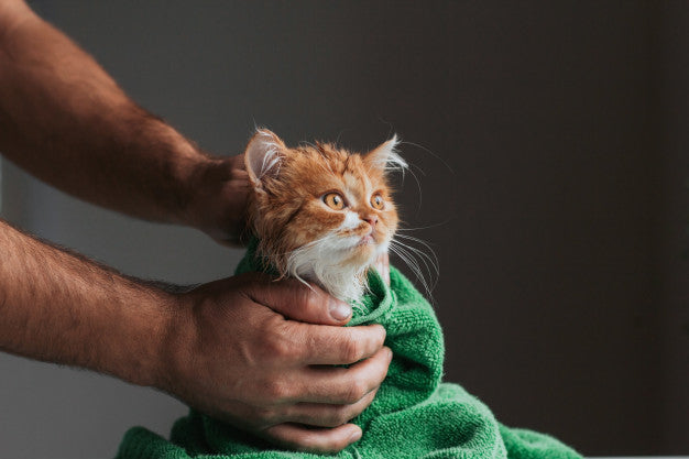 Ginger kitten after a shower wrapped in a green towel. wet kitten after washing in human hands. Premium Photo