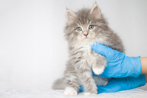 Grey persian little fluffy maine coon kitte at vet clinic and hands in blue gloves Premium Photo