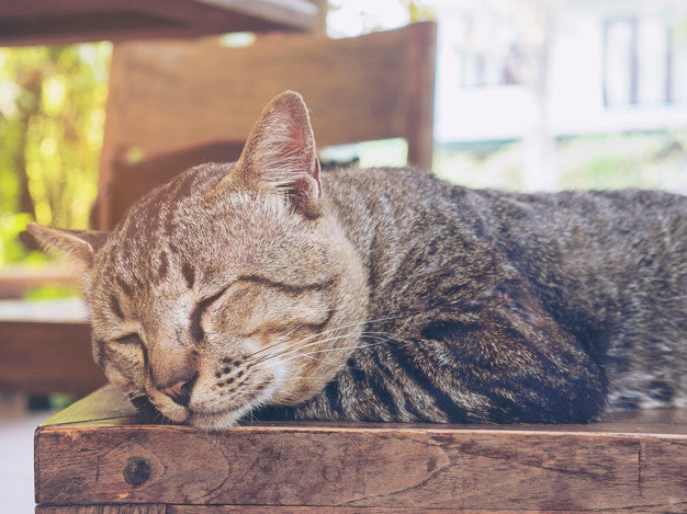 Lovely lazy cat thai home pet Free Photo