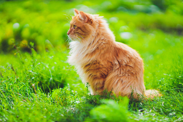 Red green-eyed cat resting on the green grass. Premium Photo