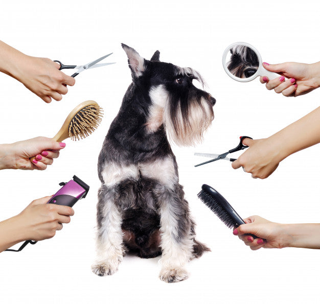 Schnauzer puppy and  hands with different groomer tools isolated on white Premium Photo