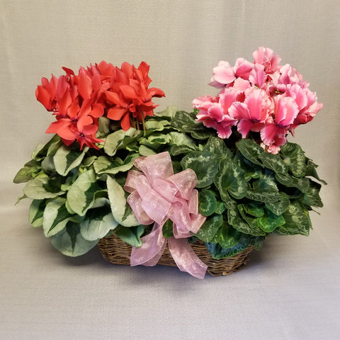 Brown basket with one red and one pink blooming cyclamen plant with a pink bow, full view