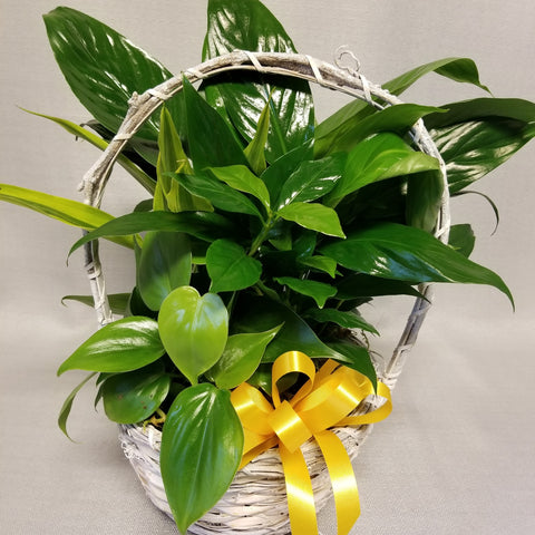 Small white basket with a handle is filled with assorted indoor green plants and decorated with a yellow bow