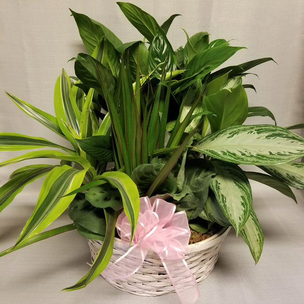 White wicker basket with assorted indoor green plants and decorated with a pale pink bow