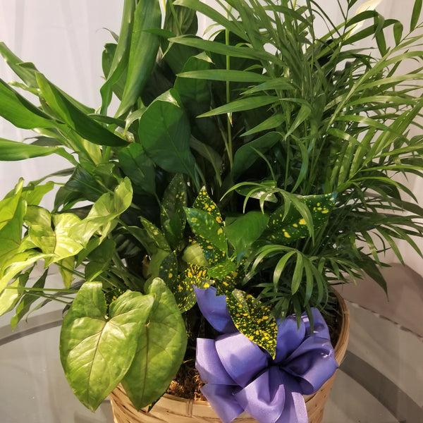 Assorted indoor green plants arranged in a brown basket with a blue bow