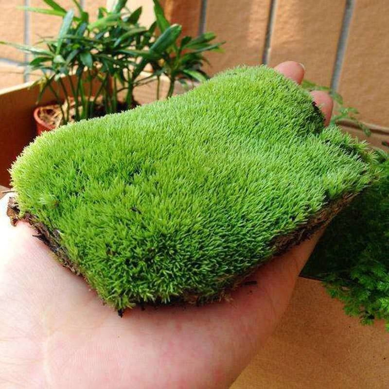 100pcs bonsai moss seed,Sagina Subulata plantas, decorative grass plante,potted plant for home garden