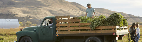 Hemp plants on the bed of a pickup truck with someone inside at Fletcher Farms