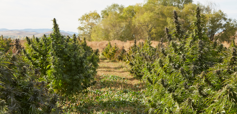 Hemp farm before harvest, drying, and curing at Fletcher Farms