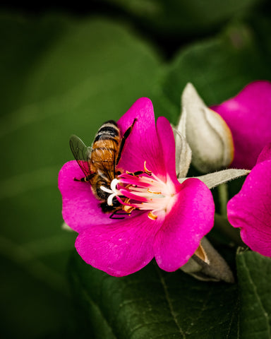 Bee on a pink flower contributing to pollination and placed in the all-natural bug repellent article