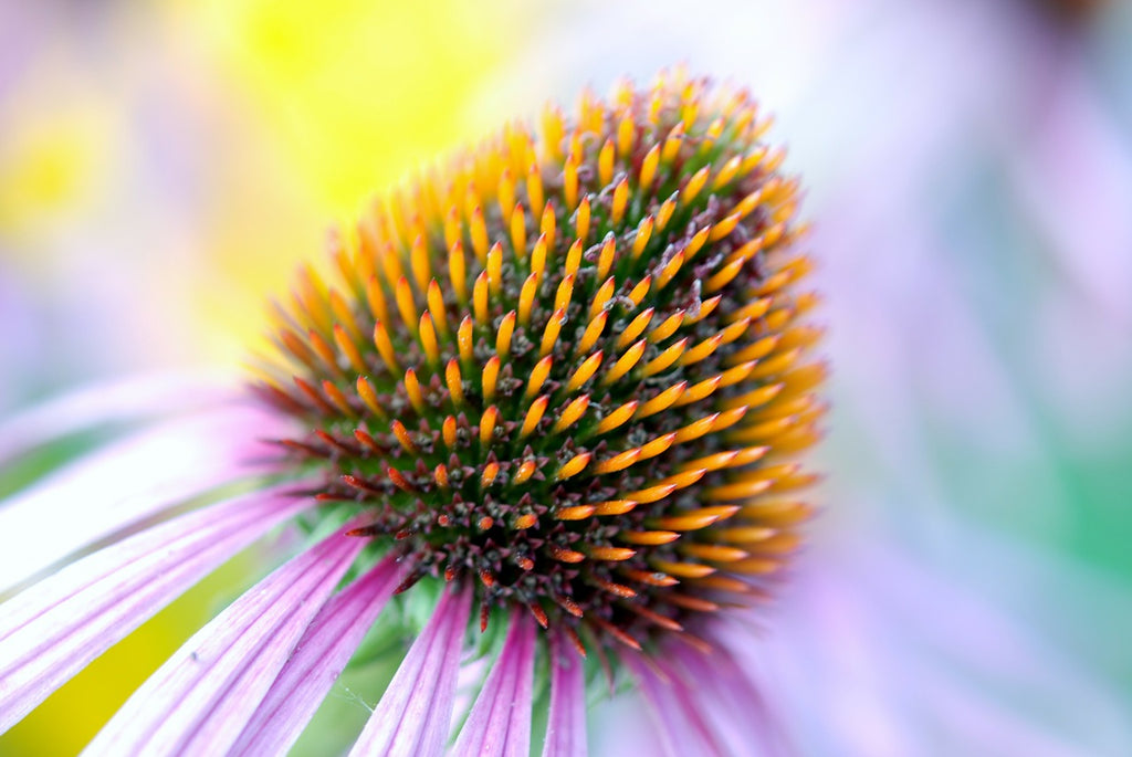 5 Echinacea Tea Benefits For Health