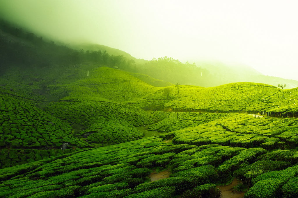 How Is Tea Grown? The Story of Tea From Harvest to Cup