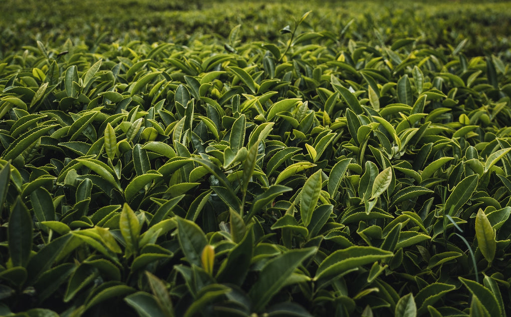Everything You Need to Know About Tea Leaves