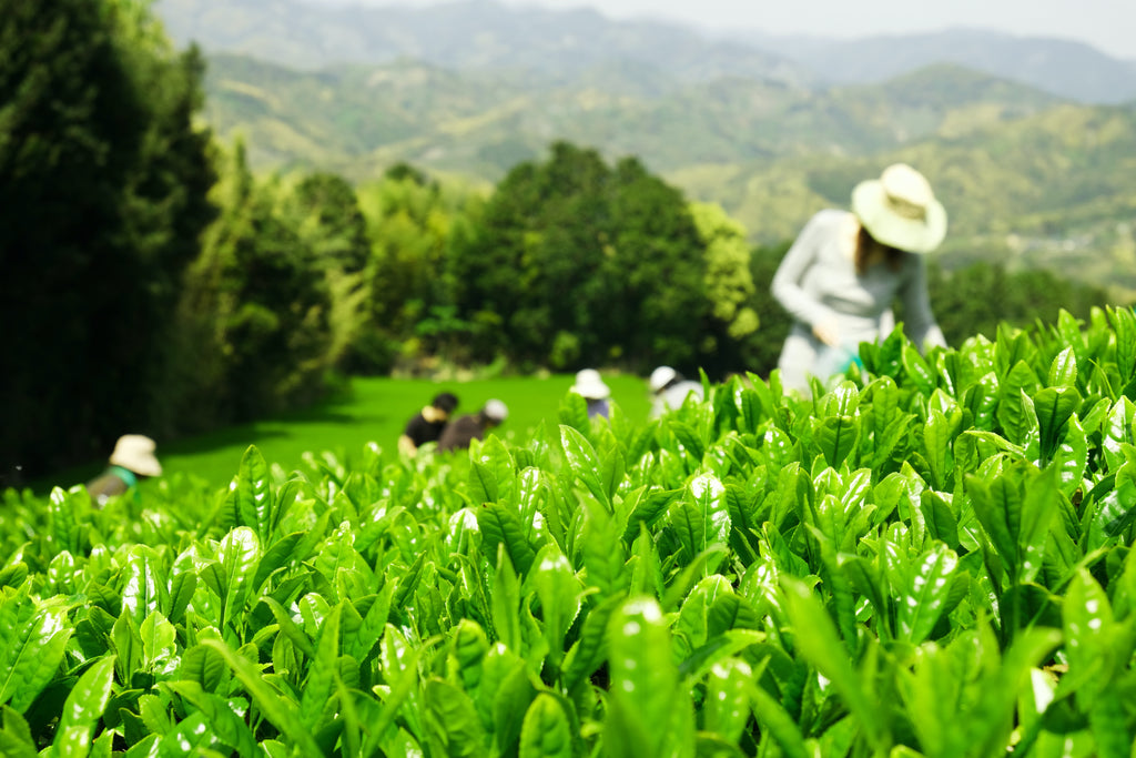 Gyokuro: The Glittering Jade-Green Japanese Tea