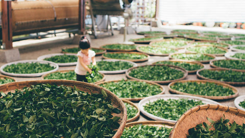 tea leaves drying in baskets