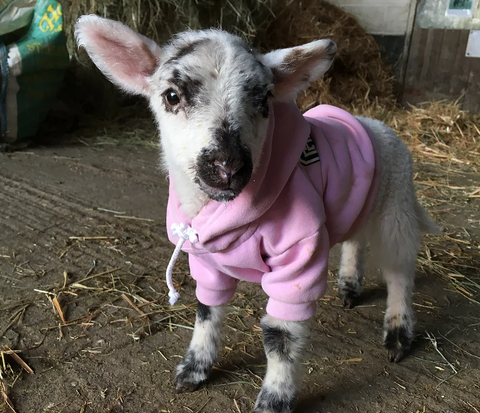 Small goat wearing pink hoodie