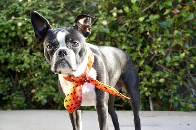 Frenchiestore Pet Scarf |  California Dreamin' - Organic World Nation
