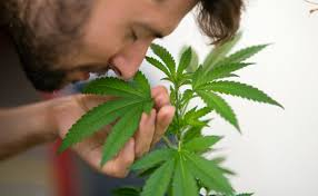 Is Your Cannabis too Loud? Here's how to mask those odors!