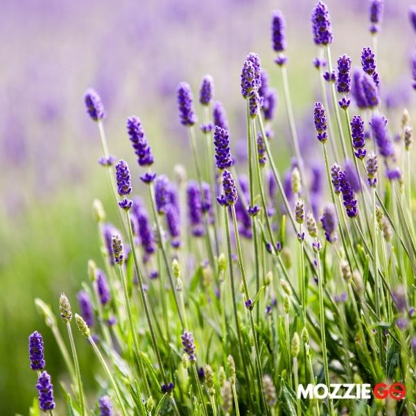 lavender repels mosquitoes
