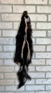 "Tanned Skunk Pelt, Nice stripes, Prime Fur 30""+ tip to tip. (sk4-19T)"