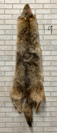 "Soft, Tanned Timber Wolf Pelt 64"" tip to tip (TW#19)"