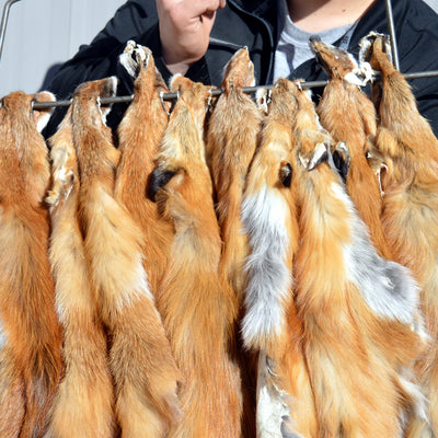 Tanned Red Fox Hide with NO Tail