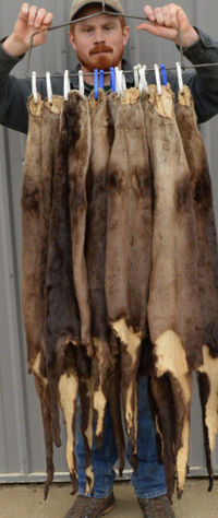 "Tanned River Otter, select Grade, soft fur and leather, 40"" tip-tip RO40+"""