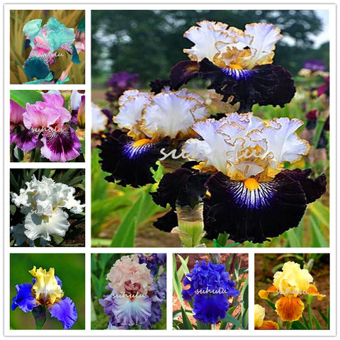 Plant Flower Bath Salts fleur-de-lis Colorful Iris Essence 100Pcs XZZ-311