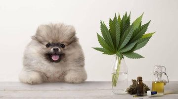 CBD Oil for Dogs - What You Need to Know?