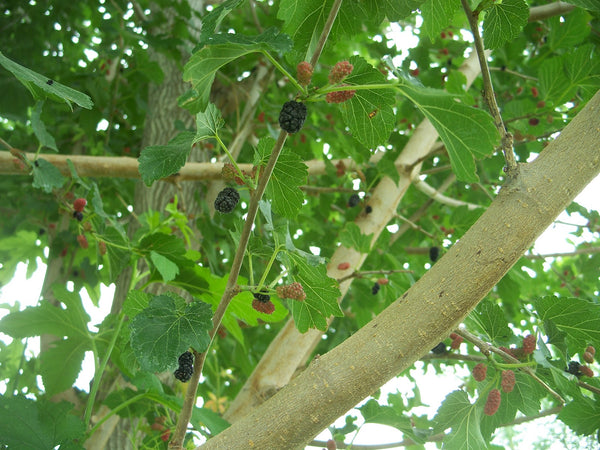 mulberry tree with fruit