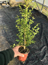 Load image into Gallery viewer, 10 Common Box Hedging (Seconds) - approx 30-40cm Tall in Pots Buxus Sempervirens