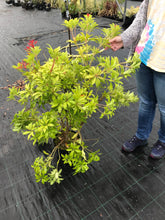 Load image into Gallery viewer, 1 Pieris 'Forest Flame' Shrub - Mature Plant - 2-3ft - 5 Litre Pot - 4yrs Old