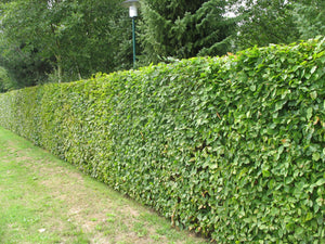 100 Green Beech Hedging Plants approx 2ft, Fagus sylvatica - Grade A Stock