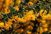 Load image into Gallery viewer, 20 Berberis Darwinii Darwins Barberry Evergreen Shrub Orange Flowers 10.5cm Pots