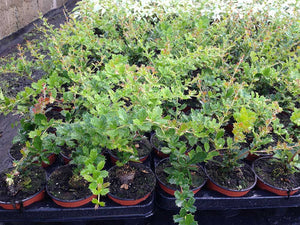 25 Berberis Darwinii Darwins Barberry Evergreen Shrub Orange Flowers 10.5cm Pots