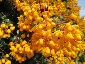 20 Berberis Darwinii Darwins Barberry Evergreen Shrub Orange Flowers 10.5cm Pots