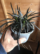 Load image into Gallery viewer, 3 Black Mondo Grass - Ophiopogon planiscapus - Black Dragon Plant 10.5cm Pots