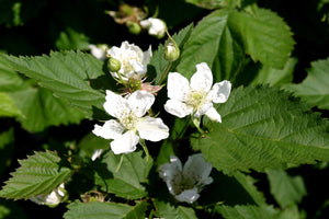 1 Thornless Blackberry 'Evergreen' Plants - 40-60cm Tall - 2L Pot - Rubus Fruticosus