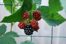 Load image into Gallery viewer, 3 Thornless Blackberry Plants - 40-60cm Tall - 2L Pot - Rubus Fruticosus