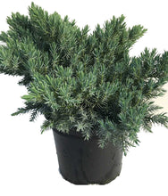 Load image into Gallery viewer, 3 Blue Star Juniper Juniperus squamata 2L Pots