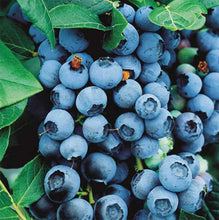 Load image into Gallery viewer, 3 Blueberry Plants - 'Bluecrop' - apx 30-45cm - High Yield - Self-Fertile - 2 Litre Pots