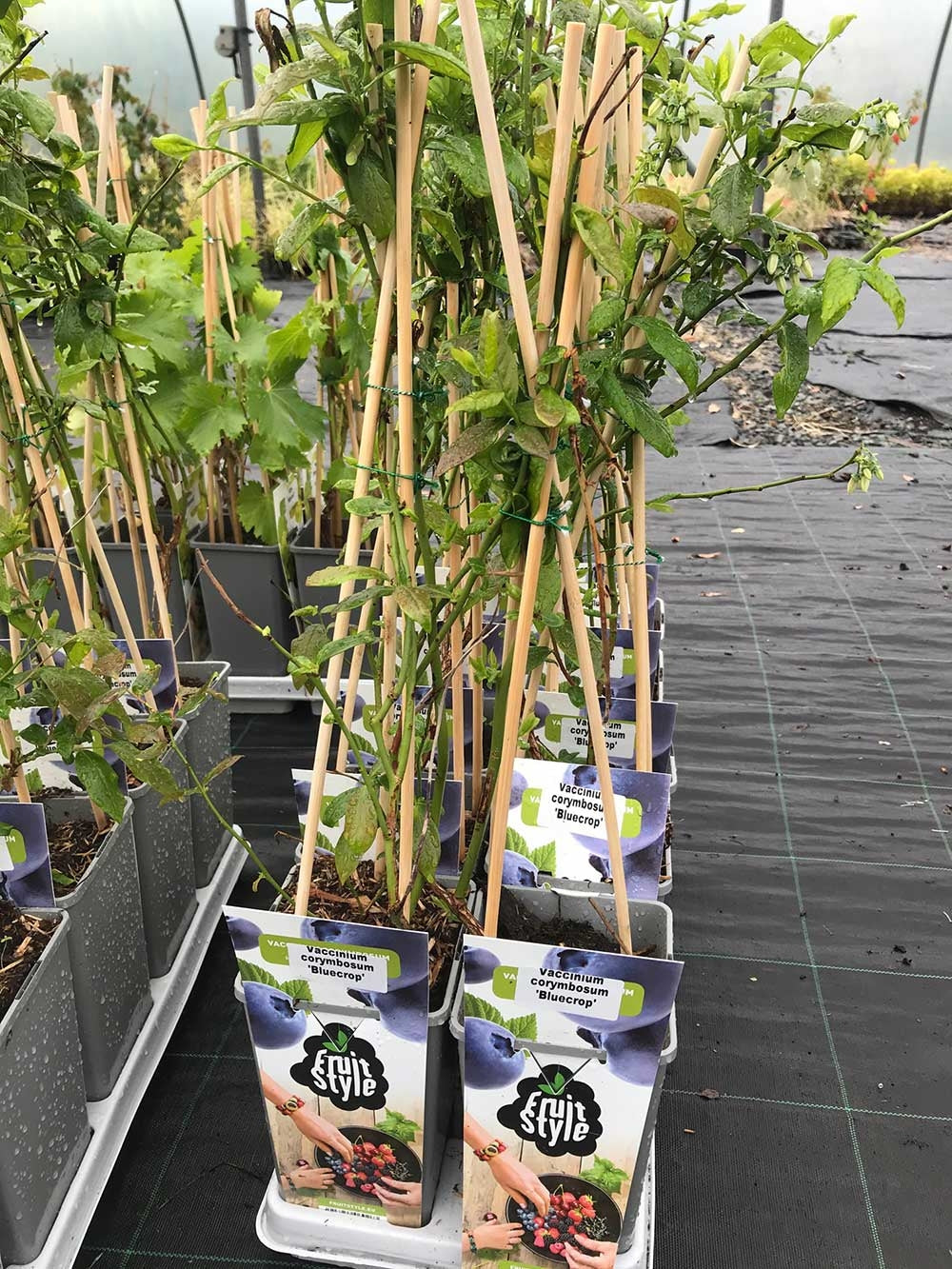 1 Blueberry Plants - Big 2L Pots - 'Bluecrop'  High Yield - Self-Fertile 30-45cm Tall