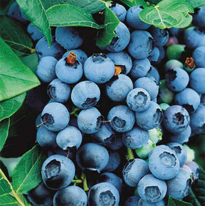 3 Blueberry Plants - 'Bluecrop' - apx 30-45cm - High Yield - Self-Fertile - 2 Litre Pots