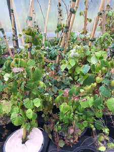 3 Boston Ivy Climbing Plants 30-45cm Tall Parthenocissus tricuspidata Veitchii