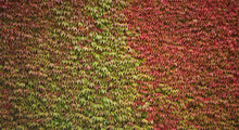 Load image into Gallery viewer, 3 Boston Ivy Climbing Plants 2-3ft Tall Parthenocissus tricuspidata Veitchii