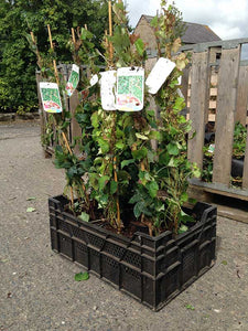 2 Boston Ivy Climbing Plants 2-3ft Tall Parthenocissus tricuspidata Veitchii