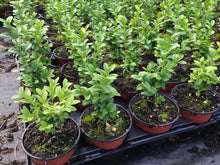 Load image into Gallery viewer, 15 Common Box Hedging - approx 10cm Tall in Pots Buxus Sempervirens