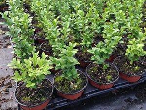 15 Common Box Hedging - approx 10cm Tall in Pots Buxus Sempervirens