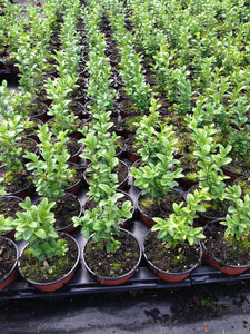 25 Common Box Hedging - approx 10cm Tall in Pots Buxus Sempervirens