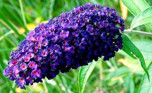 2 Buddleia davidii 'Empire Blue' - 20cm Tall - 10.5cm Pots Buddleja Butterfly Bush
